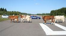 När kossorna ska hem från dagens bete blir det paus i biltestfabriken.